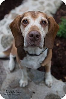 Beagle Mix Dog for adoption in Drumbo, Ontario - Dudley
