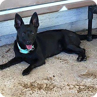 Dachshund/Chihuahua Mix Dog for adoption in Phoenix, Arizona - Jetta