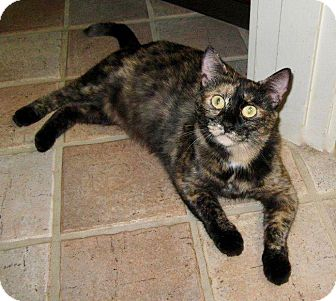 Domestic Shorthair Cat for adoption in Beverly, Massachusetts - TESS