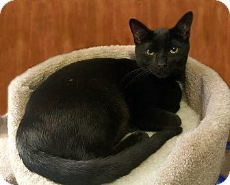 Domestic Shorthair Cat for adoption in Smyrna, Georgia - Peanut