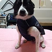 Adopt A Pet :: Cookie - Georgetown, KY