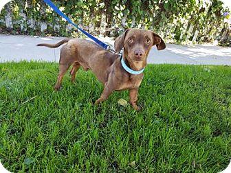 Dachshund Dog for adoption in Los Angeles, California - Dexter