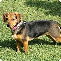 Adopt A Pet :: PUPPY PUMPKIN - Hagerstown, MD