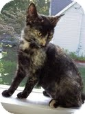 Domestic Shorthair Kitten for adoption in Southington, Connecticut - Carrie