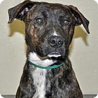 Adopt A Pet :: Henessey - Port Washington, NY