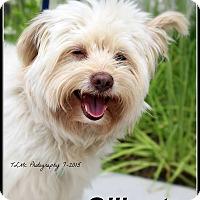 Adopt A Pet :: Gilbert - Elmhurst, IL