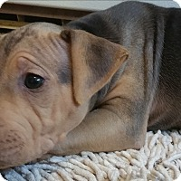 Adopt A Pet :: Gussy - grants pass, OR