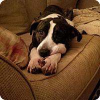 Adopt A Pet :: APACHE - Kimberton, PA