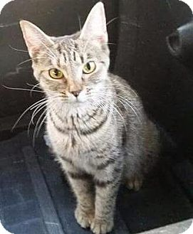 Domestic Shorthair Cat for adoption in Putnam, Connecticut - Gretchen