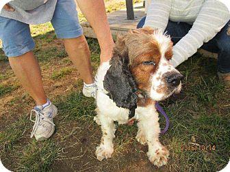 Cocker Spaniel Dog for adoption in Freeport, New York - Lucky