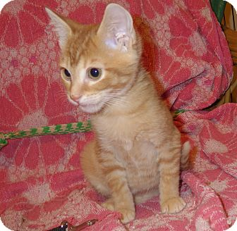 Domestic Shorthair Kitten for adoption in Quail Valley, California - Tripod
