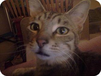 Domestic Shorthair Cat for adoption in Columbus, Ohio - Mr. X