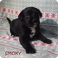 Adopt A Pet :: Smoky - Batesville, AR