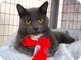 Domestic Shorthair Cat for adoption in Winchendon, Massachusetts - Jasmine