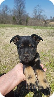 Shepherd (Unknown Type)/Labrador Retriever Mix Puppy for adoption in Glastonbury, Connecticut - Reba~adopted!