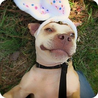 American Staffordshire Terrier Dog for adoption in Athens, Georgia - Forest
