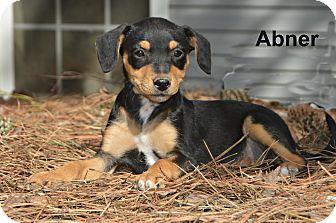 Beagle/Rat Terrier Mix Puppy for adoption in Glastonbury, Connecticut - Abner