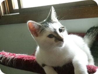 Domestic Shorthair Kitten for adoption in Milwaukee, Wisconsin - Pyle