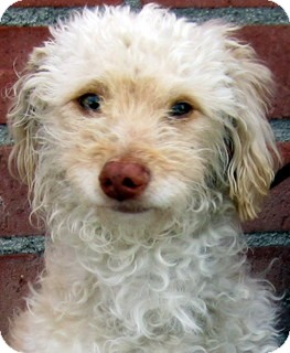 Poodle (Miniature)/Terrier (Unknown Type, Small) Mix Dog for adoption in Los Angeles, California - Andy *VIDEO*