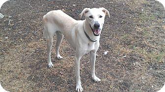 Great Pyrenees/Greyhound Mix Dog for adoption in Eddy, Texas - Jax
