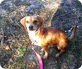 Beagle Mix Dog for adoption in Waldorf, Maryland - Ombre