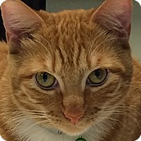 Domestic Shorthair Cat for adoption in San Jose, California - Ginger