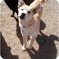 Shepherd (Unknown Type)/German Shepherd Dog Mix Dog for adoption in Dodge City, Kansas - Dusty