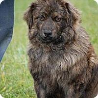 Adopt A Pet :: Bravo - Minneapolis, MN