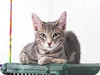 Domestic Mediumhair Cat for adoption in Belleville, Michigan - Greg