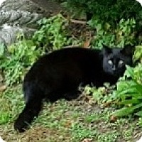 Adopt A Pet :: Blackie - Lutherville, MD