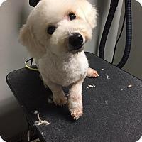Adopt A Pet :: Watson - a girl! - Norwalk, CT