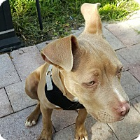 Adopt A Pet :: Sasha - Pembroke pInes, FL