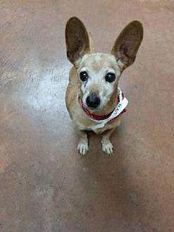 Chihuahua Mix Dog for adoption in Scottsdale, Arizona - Neil