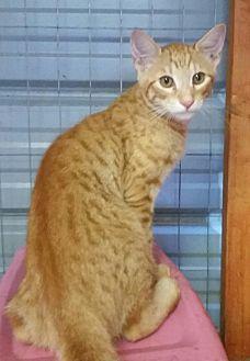 Domestic Shorthair Cat for adoption in Ocala, Florida - Cheddar