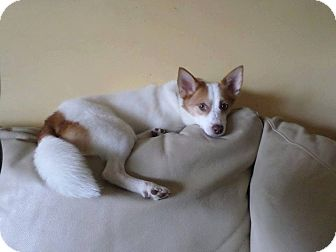 Jack Russell Terrier/Papillon Mix Dog for adoption in Pataskala, Ohio - Jasper (Adoption pending)