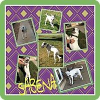 Dalmatian Mix Dog for adoption in Fort Collins, Colorado - Sabena