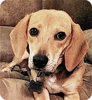 Beagle Mix Dog for adoption in Houston, Texas - Daphne