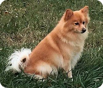 Pomeranian Dog for adoption in Kansas City, Missouri - peaches