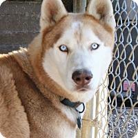 Adopt A Pet :: Bear (the Husky) - Fort Madison, IA