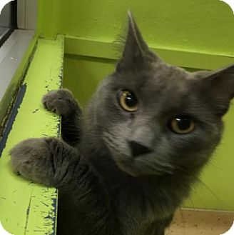 Domestic Mediumhair Cat for adoption in Janesville, Wisconsin - Hiccup