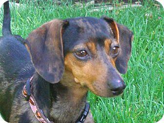 Dachshund Dog for adoption in San Jose, California - Courtney