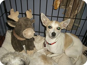 Italian Greyhound/Terrier (Unknown Type, Small) Mix Dog for adoption in Mahopac, New York - Missy 'Noodle'
