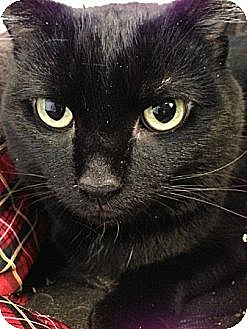 Domestic Shorthair Cat for adoption in Canal Winchester, Ohio - Ernie