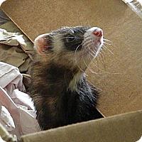Adopt A Pet :: Diva - Indianapolis, IN