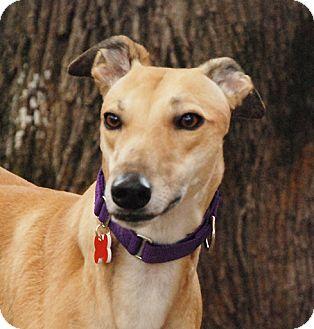 Greyhound Dog for adoption in Ware, Massachusetts - Mandy