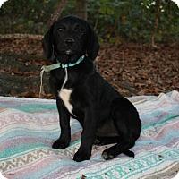 Adopt A Pet :: Ebony $250 - Seneca, SC