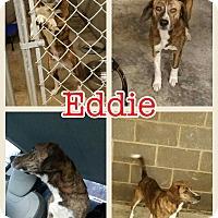 Adopt A Pet :: Eddie meet me 2/17 - Manchester, CT