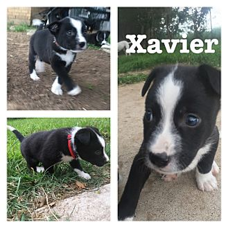 Border Collie/American Pit Bull Terrier Mix Puppy for adoption in White Settlement, Texas - Xavier