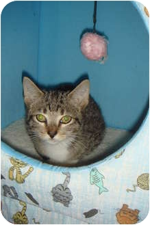 Domestic Shorthair Kitten for adoption in Orlando, Florida - Arnold
