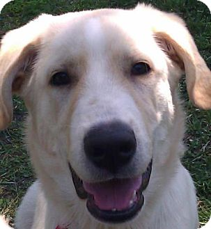 Great Pyrenees/Labrador Retriever Mix Puppy for adoption in New Boston, New Hampshire - Tanner